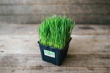 Organic Wheatgrass Mini Pot